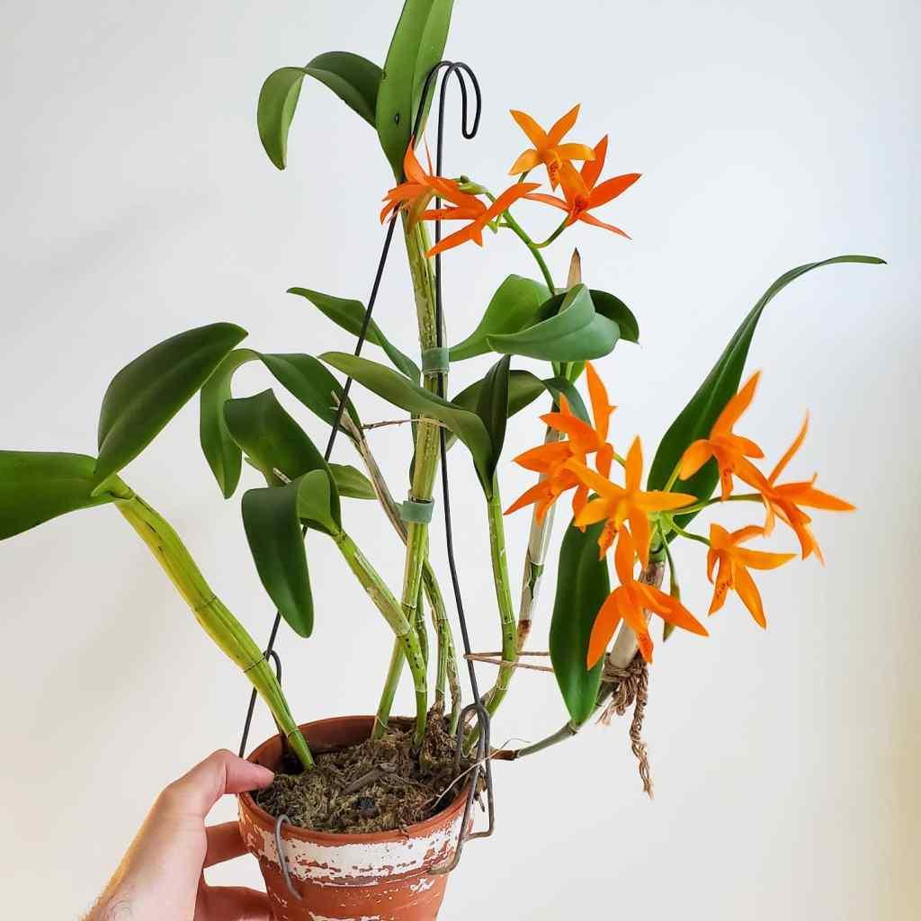 Guarianthe aurantica potted plant