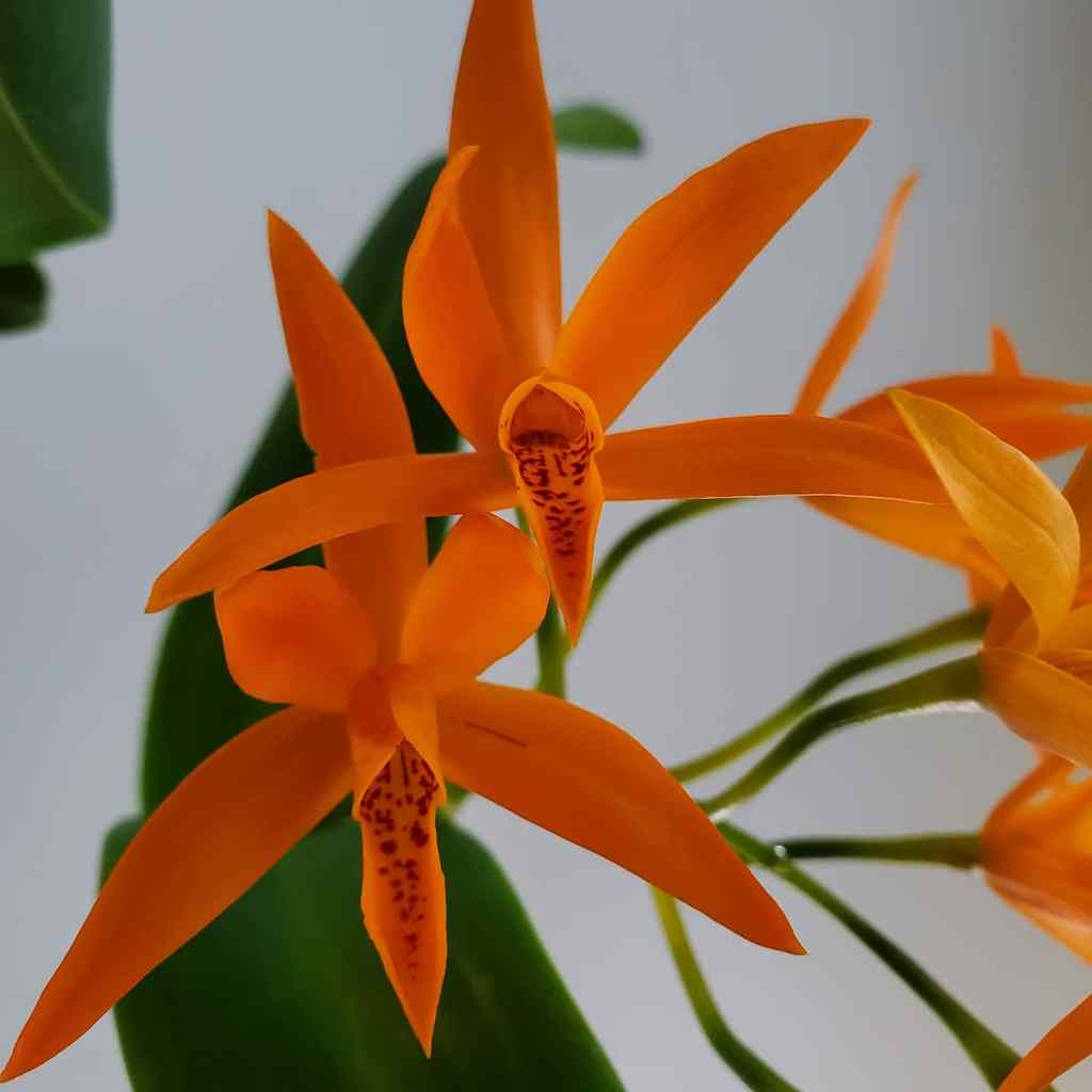 Close up Guarianthe aurantica orchid flowers